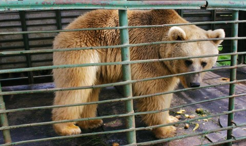 Bears kept in captivity disappear after alerts to Armenia's Ministry of Nature Protection